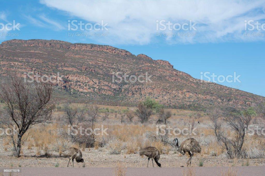 Emus (Dromaius novaehollandiae) Wilpena Pound, Ikara-Flinders Ranges, South Australia stock photo