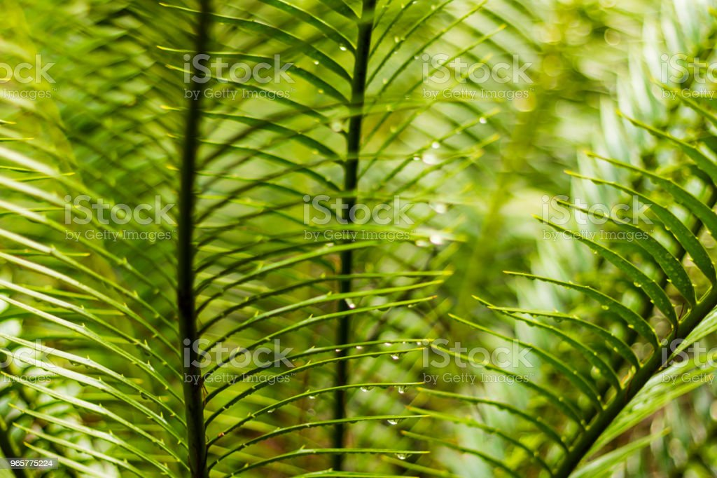 Encephalartos senticosus - Royalty-free Botany Stock Photo