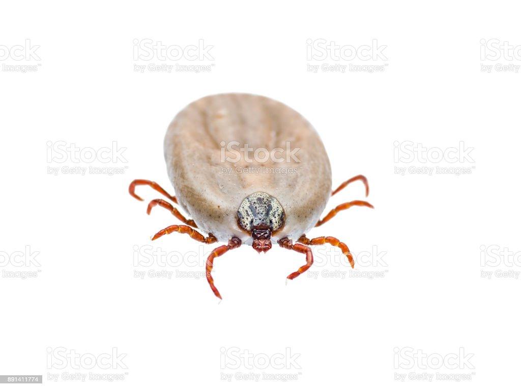 Encephalitis or Lyme Virus Infected Tick Arachnid Insect Isolated on White stock photo