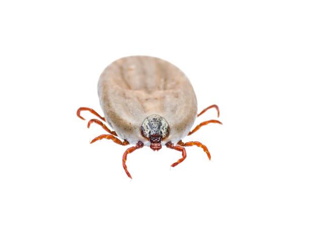 Encefalitis o Virus de Lyme garrapata infectada arácnidos insectos aislado en blanco - foto de stock