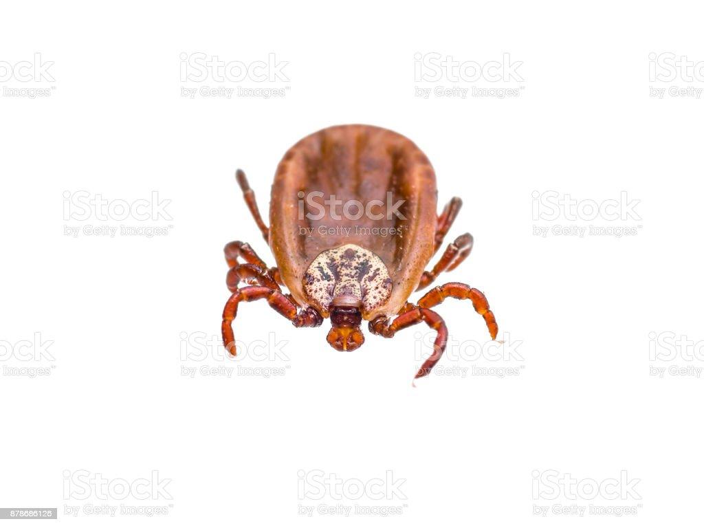 Encephalitis or Lyme Virus Infected Tick Arachnid Insect stock photo