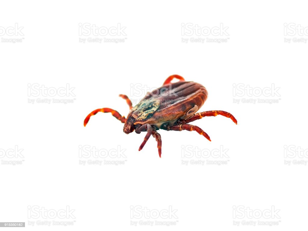 Encephalitis or Lyme Virus Infected Tick Insect Isolated on White stock photo
