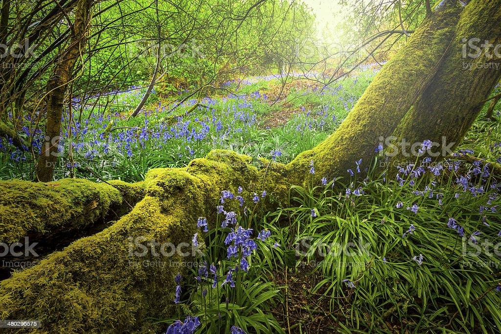 Enchanted Bluebell Woods stock photo