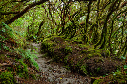 Enchanted forest of Pijaral, Anaga Mountains. Tenerife, Canary Islands. Spain