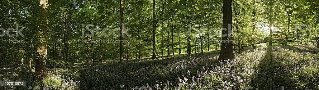 Enchanted forest summer sunlight vibrant foliage wild flower woodland panorama royalty-free stock photo