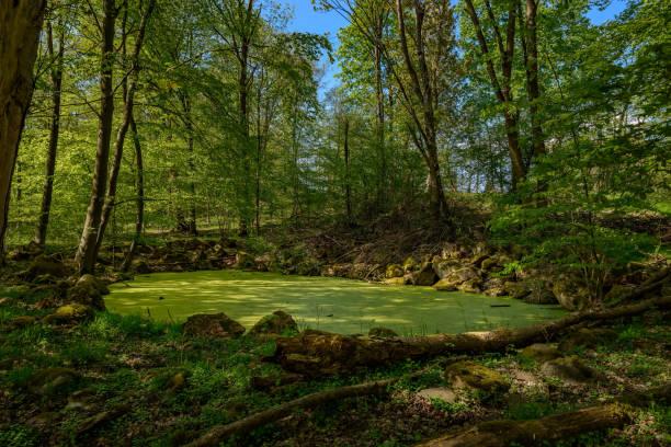 """verzauberter ort: wald, see, gefärbt in grün von algen, im naturschutzgebiet naturpark """"mecklenburgische schweiz"""" (""""mecklenburgische schweiz"""") - nationalpark müritz stock-fotos und bilder"""