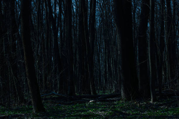 enchanting night forest with tall dark trees is mysterious and no one around is just a wilderness stock photo