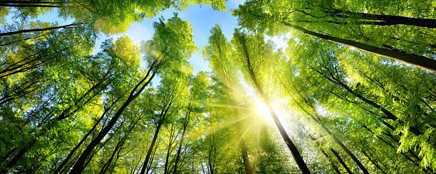 Enchanting sunshine on green treetops picture id598057526?b=1&k=6&m=598057526&s=612x612&w=0&h=mn4xufn1mmofpe7xopqvhjma4q9pvjjhnzpz4nlc0ro=