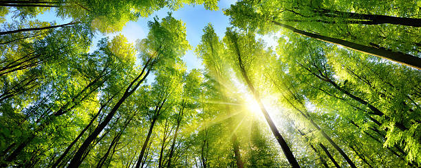 Enchanting sunshine on green treetops The sun beautifully illuminating the green treetops of tall beech trees in a forest clearing, panorama shot environment stock pictures, royalty-free photos & images