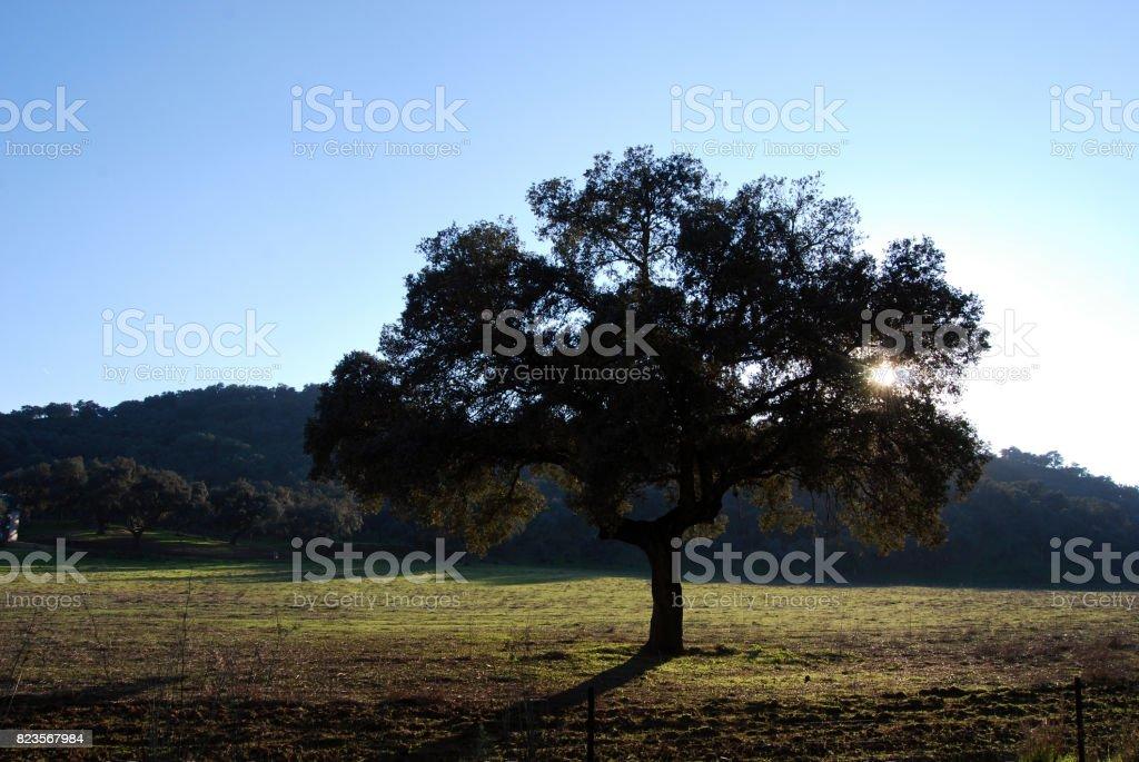 Encina, Holly Oak, Via Verde Sierra Norte de Sevilla stock photo