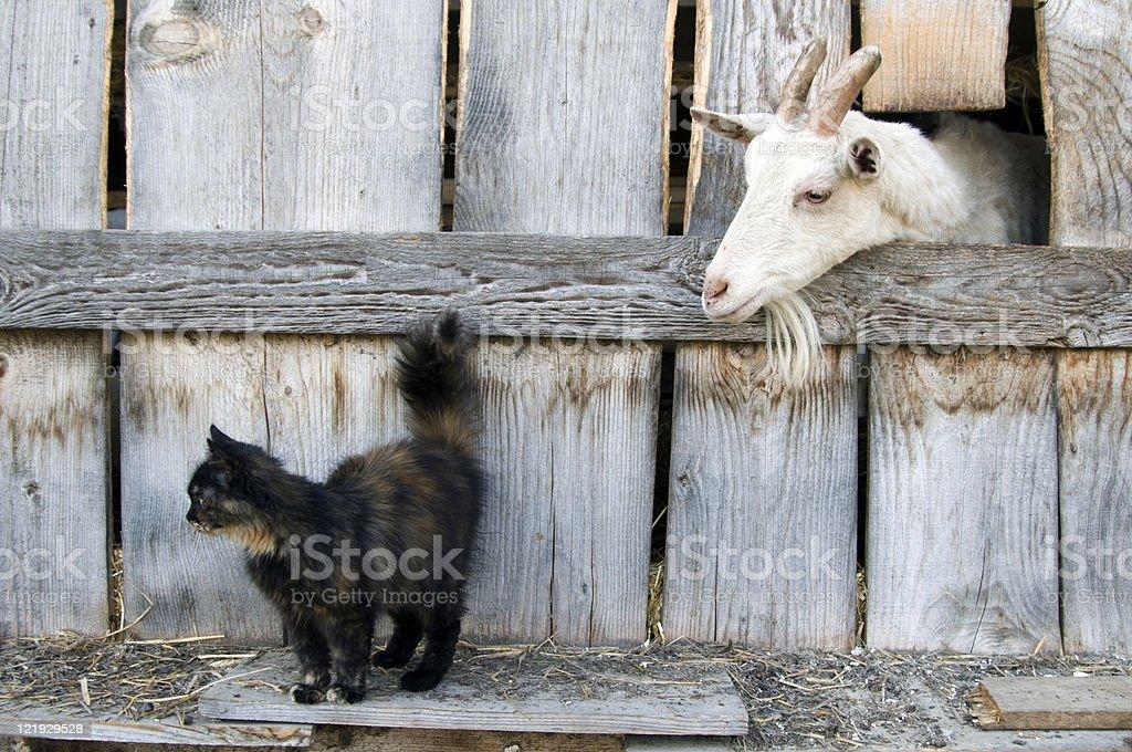Begegnung Katze und Ziege am Bauernhof stock photo