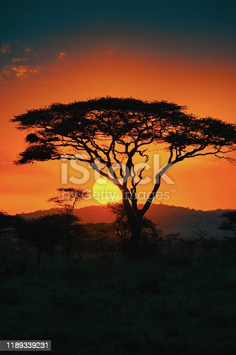 African Acacia tree in the last daylight, Serengeti National Park, Tanzania/East Africa.