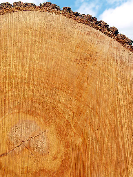 End of Red Oak Log with Saw Marks, Growth Rings stock photo