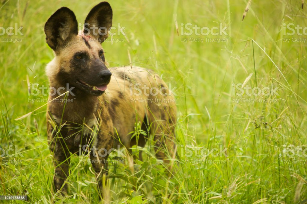 Endangered African Wild Dog, Moremi Game Reserve, Mombo Camp, Botswana stock photo