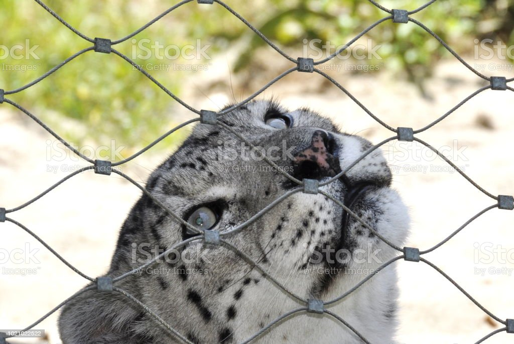 Endangered animal snow leopard behind a fence in a zoo stock photo