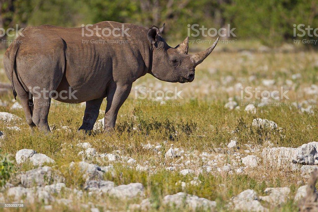 Endangered Black Rhinoceros stock photo