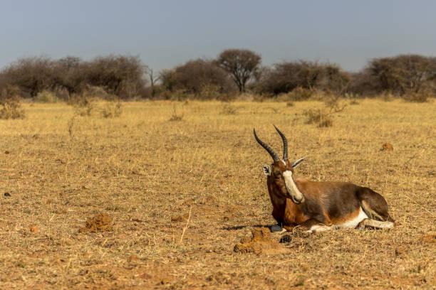 bedreigde blesbok antelope liggen op gras - blesbok stockfoto's en -beelden