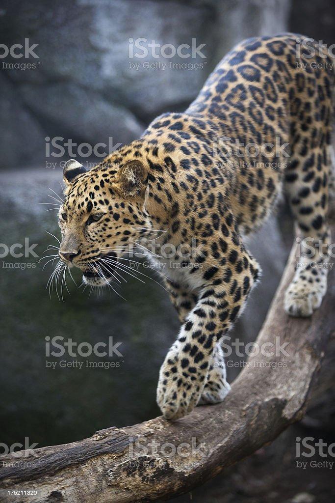 Bedrohte weibliche amur leopard. – Foto