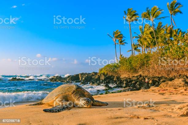 Endangered hawaiian green sea turtle on the sandy beach at north picture id670259718?b=1&k=6&m=670259718&s=612x612&h=jjctu8ds9nebfdj qiaxmx2mlxc5dodfv1yaso9ayrs=