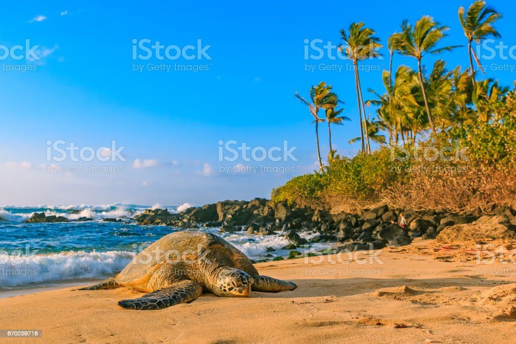 Endangered Hawaiian Green Sea Turtle on the sandy beach at North Shore Oahu Hawaii stock photo
