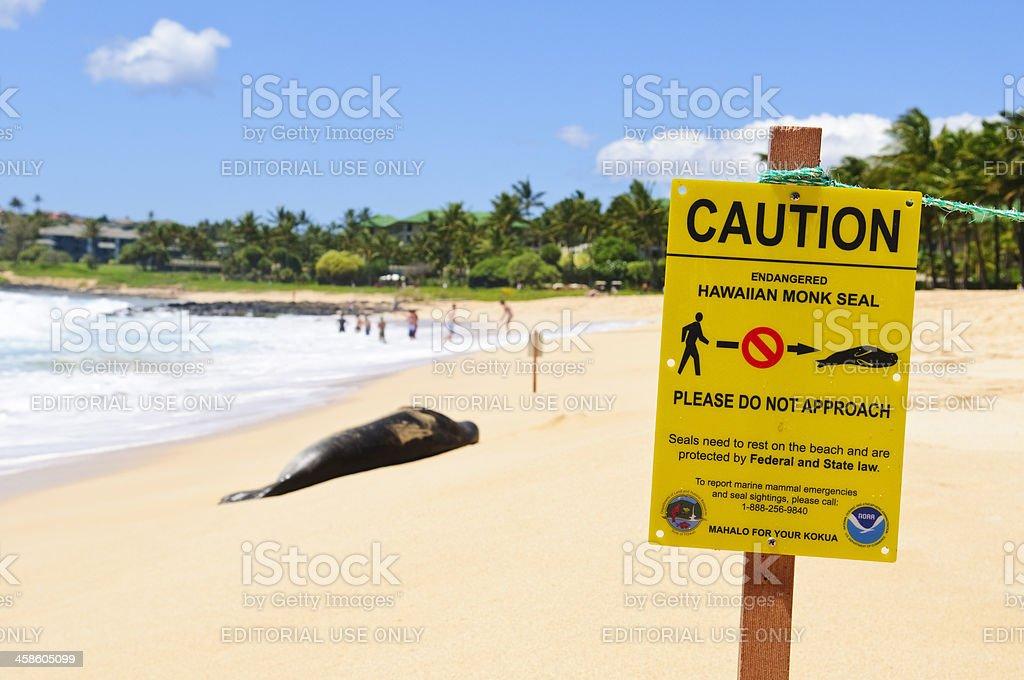 Endangered Hawaiian Monk Seal royalty-free stock photo