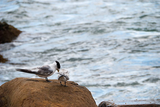Endangered Little Tern stock photo