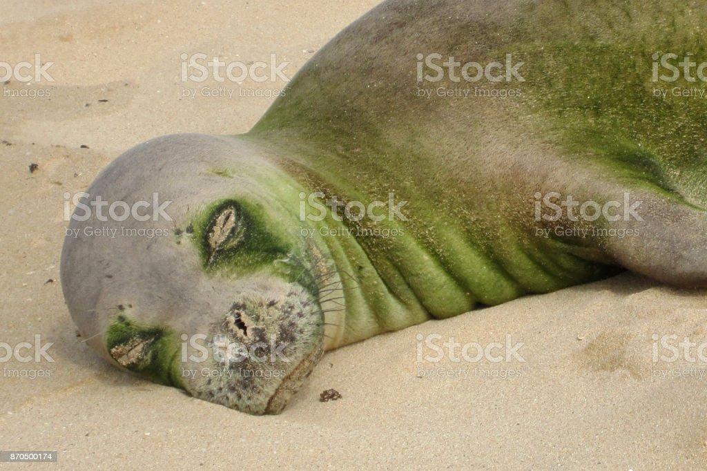 Endangered Monk Seal Asleep on Beach stock photo
