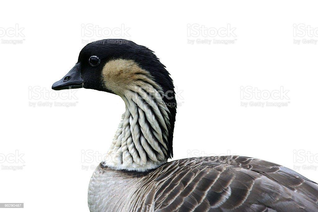Endangered Nene (Hawaiian Goose) Close-Up Profile Isolated royalty-free stock photo