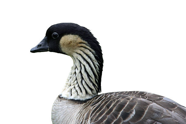 Endangered Nene (Hawaiian Goose) Close-Up Profile Isolated stock photo