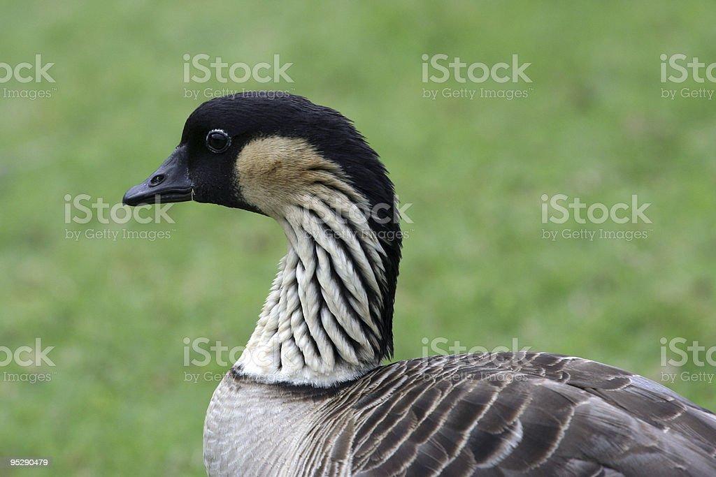 Endangered Nene (Hawaiian Goose) Close-Up Profile royalty-free stock photo