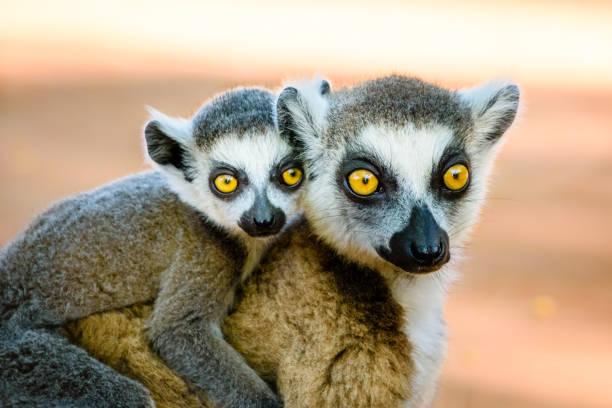 utrotningshotade ring tailed lemur bär söt baby - lemur bildbanksfoton och bilder
