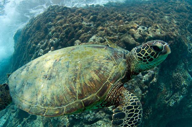 Der gefährdeten Meeresschildkröte – Foto