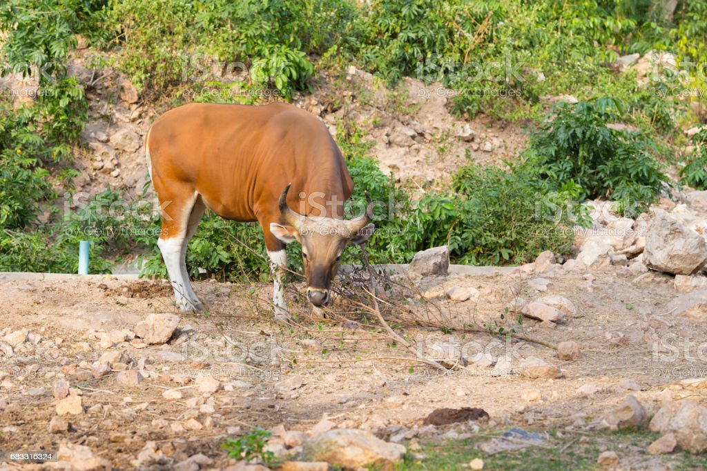 Endangered species in IUCN Red List of Threatened Species Banteng royalty free stockfoto