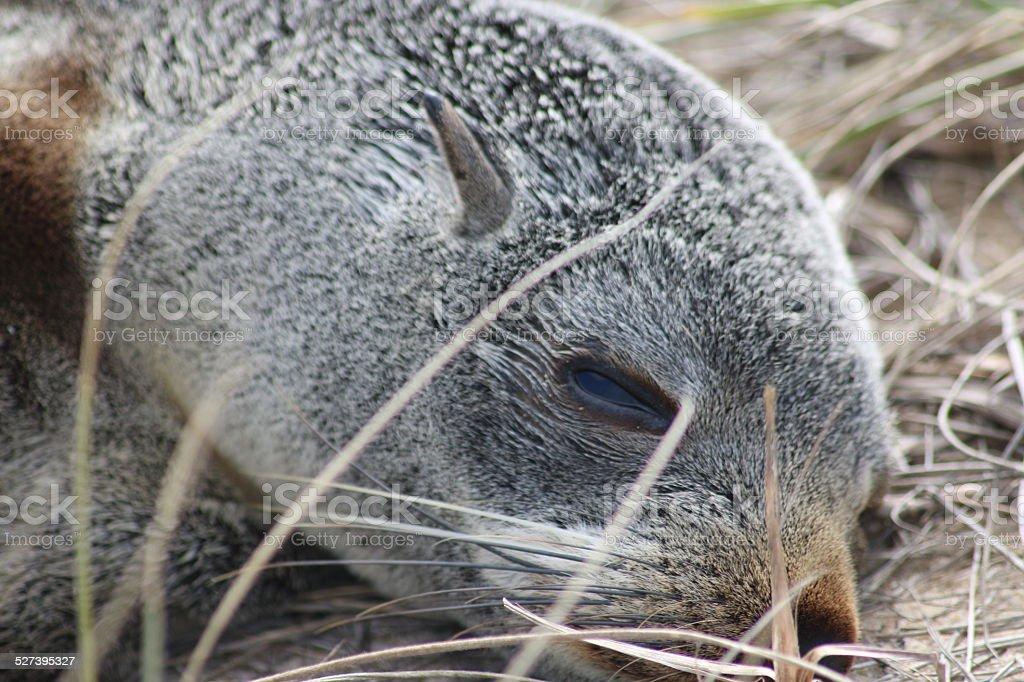 Endangered Sub-Antarctic Fur Seal Pup stock photo