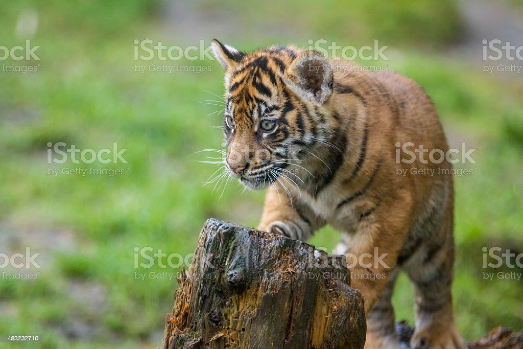 Endangered Sumatran Tiger Cub stock photo