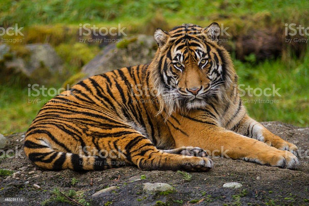 Endangered Sumatran Tiger stock photo