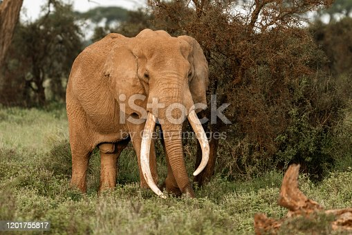 Almost extinct Tusker Elephants in Kenya. Less than 30 Tuskers left in the world. 50 year old male.