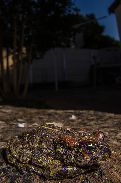 Endangered Western Leopard Toad stock photo