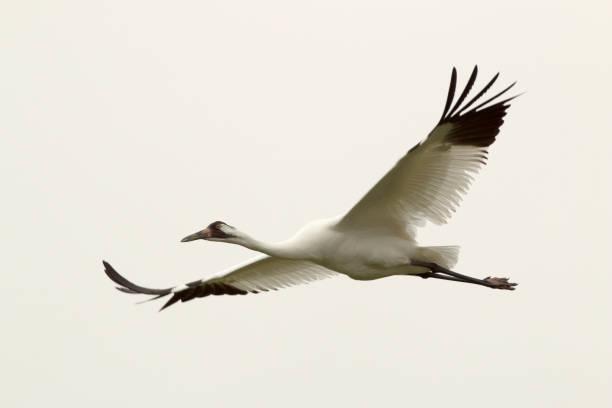 Endangered wild whooping crane flies over Aransas National Wildlife Refuge Gulf coast Texas stock photo