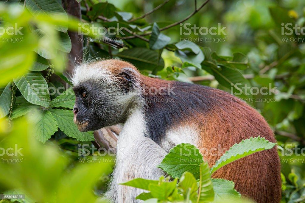 Endangered Zanzibar red colobus monkey (Procolobus kirkii), Joza stock photo