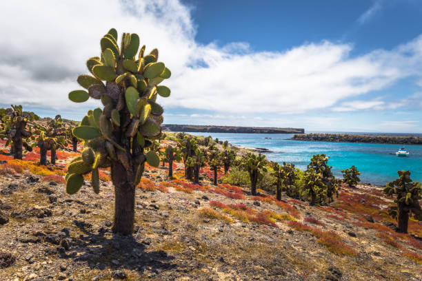 Galapagos Inseln - 24. August 2017: Endemischen Kakteen im Plaza Sur Insel, Galapagos-Inseln, Ecuador – Foto