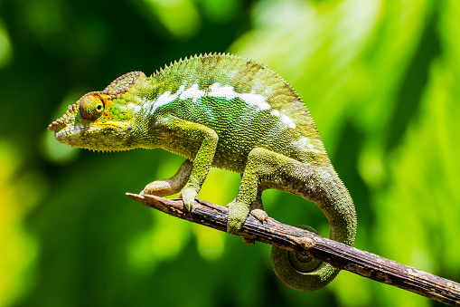 A funny green chameleon in posing on a branch in the tropical island of Nosy be. Chameleons are endemic of Madagascar where you can find a lot of different species of this reptile.