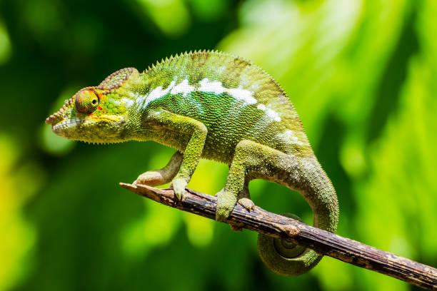 endemic chameleon of madagascar on a branch - kameleon zdjęcia i obrazy z banku zdjęć