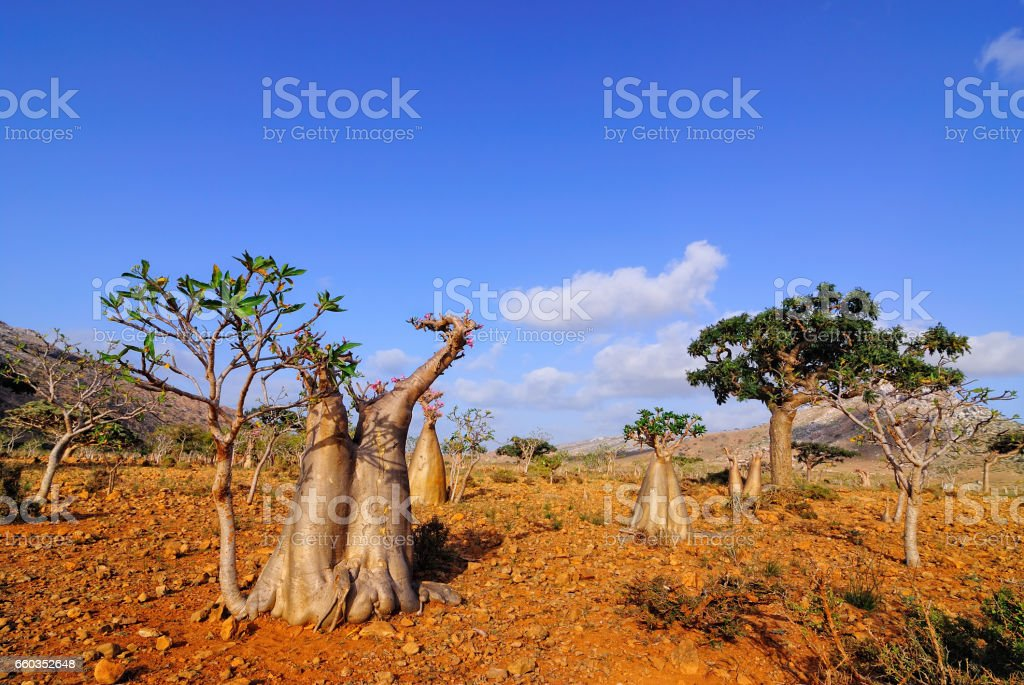 Endemic forest on the Socotra island stock photo