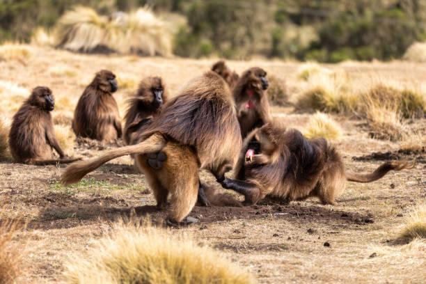 endemic Gelada in Simien mountain, Etiopia stock photo