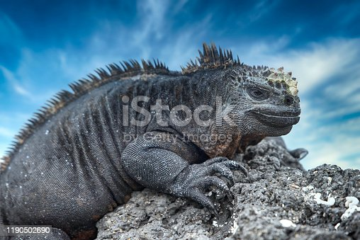 A Marine iguana (Amblyrhynchus cristatus) at black volcanic rocks on Isabela island at the Western Galapagos. This special subspecies of Igunana (A. c. albemarlensis) is endemic to Isabella island, while in general the whole group of Marine iguanas is endemic to Galapagos. Wildlife shot.