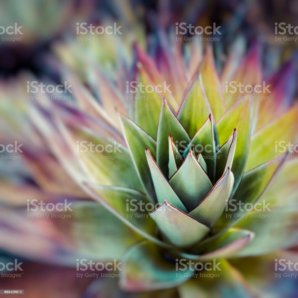 Endemic plant from Mount Roraima in Venezuela stock photo