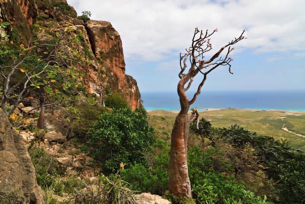 endemische pflanze der insel sokotra jemen, afrika - seltene pflanzen stock-fotos und bilder