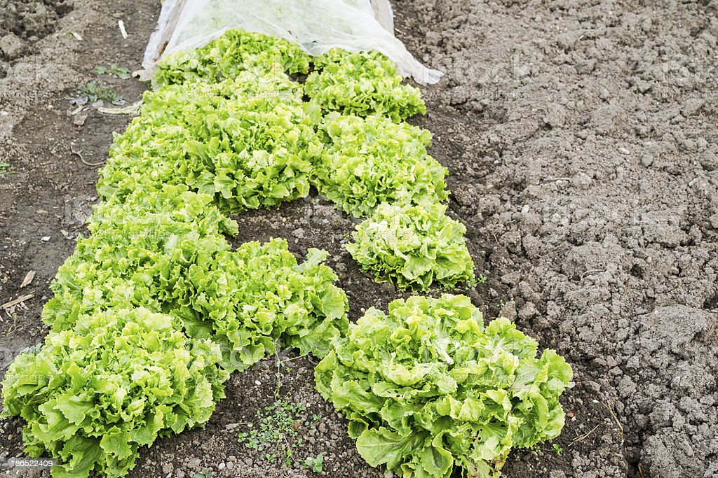 Endive Plants in a Vegetable Garden royalty-free stock photo