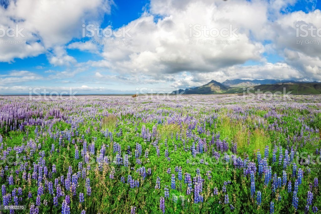 Endless Bluebonnets ( Lupinus ) in Iceland stock photo